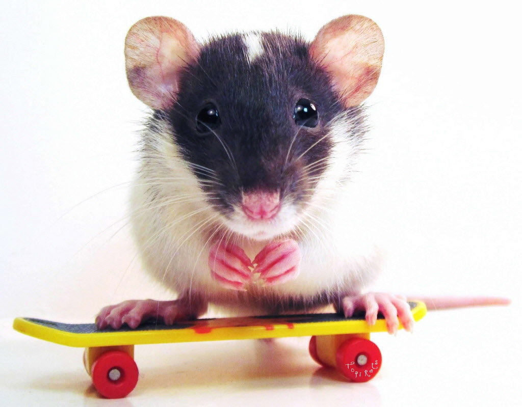 Image result for pictures of mice